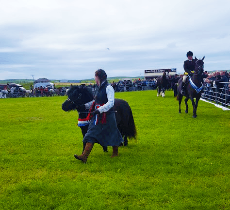 prize winning shetland pony at the dounby show in orkney