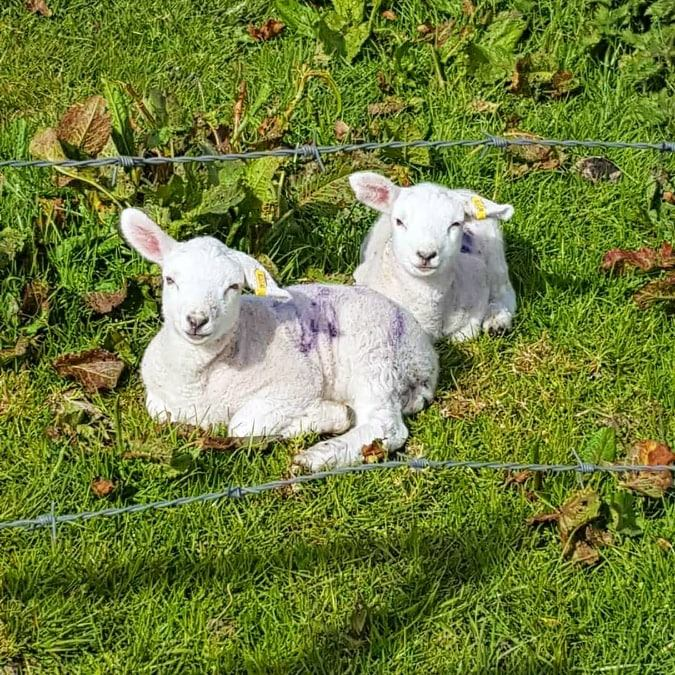 two small lambs sit happily in the orkney sun